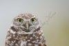 burrowing-owl_ipt_florida_01-02-2009__d4i8541