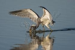 tricoloured_heron_fishing_estero_17_02_2009_kpk_8765