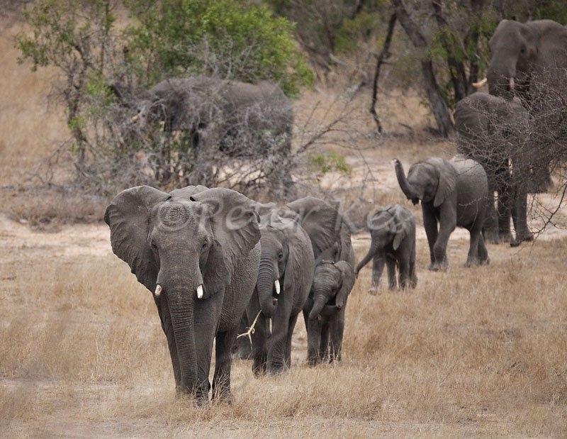 elephant-hurd-matriarch-leading_jock5dii_25-09-2009_img_3798