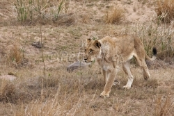 lioness-sabi-river_jock40d_25-09-2009_img_7854