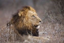 male-lion_skukuza5dii_22-09-2009_img_3015