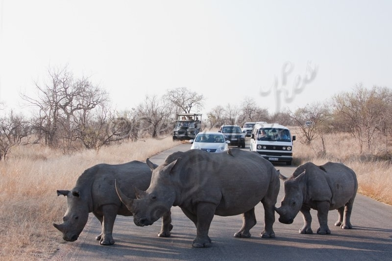 white-rhino-family-traffic-jam_jock50d_26-09-2009_img_8424
