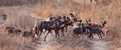 wild-dog-huntprep_jock50d_24-09-2009_img_8307