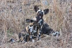 wild-dog-puppies_jock40d_27-09-2009_img_8172
