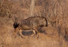 wildebeest_jock50d_27-09-2009_img_8504