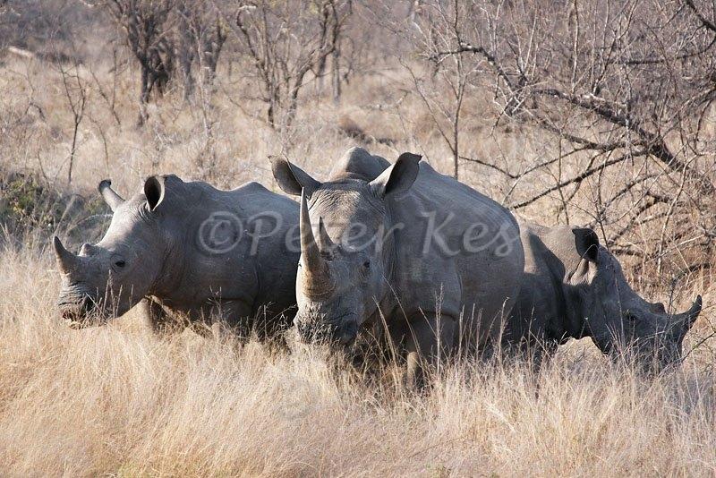 white-rhino-family_jock50d_26-09-2009_img_8405
