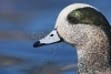 am-widgeon-head-shot_bosque_20101123_img_7569