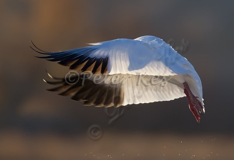 snow-goose-silhouette-in-wing_bosque_20101124_a23d1439