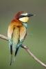 Bee-eater_Pusztaszar_20100513_A23D3803_DxO