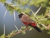 black-faced-waxbill_shashe_02-01-2010_mk4_0548