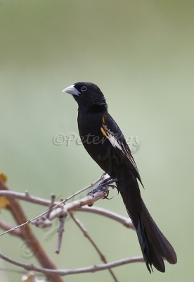 white-winged-widowbird_shashe_30-12-2009_mk4_9542