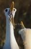 albatrosbalts_galapagos_20110714_g1pk4887