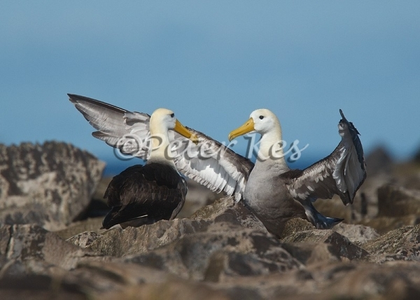 albatroshug_galapagos_20110714_g1pk5261