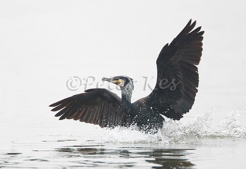 cormorant-landing_lakekerkini_20110305_a23d4435