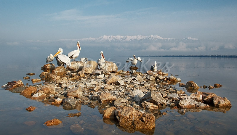 dalmatian-peilcan-island_lakekerkini_20110304_a23d3523