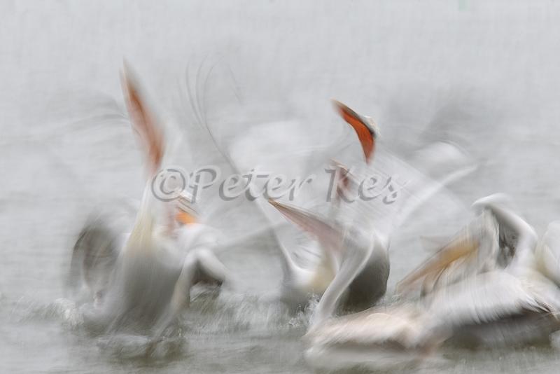 dalmatian-pelican-fish-fight-blur_lakekerkini_20110228_a23d9650