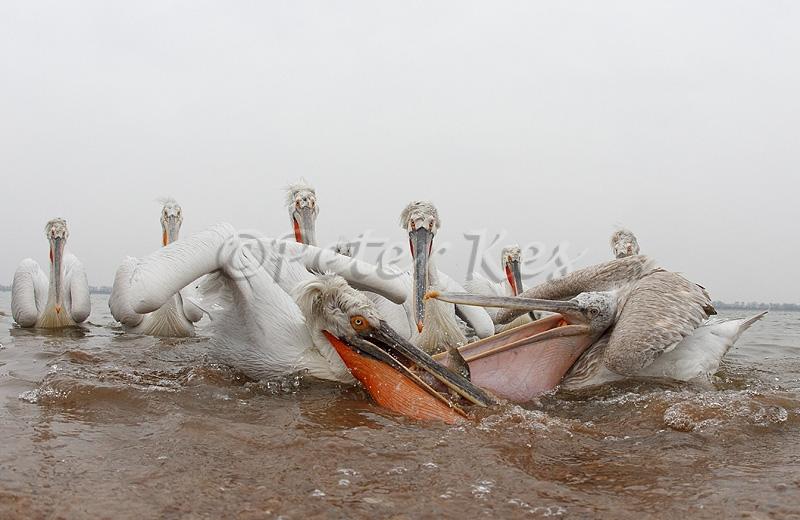 dalmatian-pelican-fish-fight_lakekerkini_20110228_a23d0023