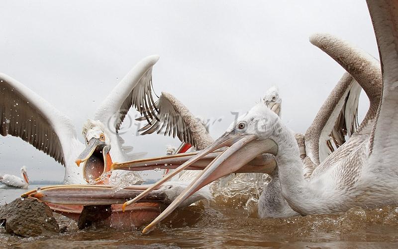 dalmatian-pelican-fish-fight_lakekerkini_20110303_a23d0974