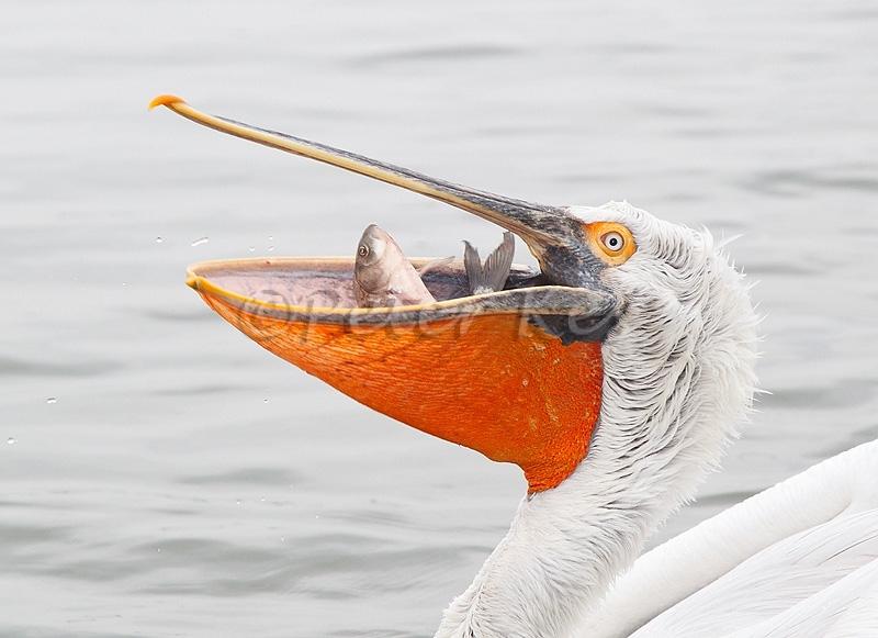 dalmatian-pelican-fish-in-mouth_lakekerkini_20110305_a23d4818