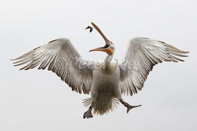 dalmatian-pelican-fishcatch-2_lakekerkini_20110303_a23d2682