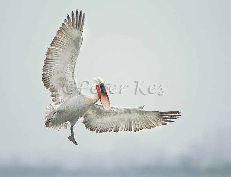 dalmatian-pelican-flight-for-fish_lakekerkini_20110304_a23d4241