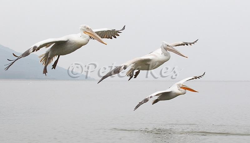 dalmatian-pelican-group-flight_lakekerkini_20110228_a23d0244