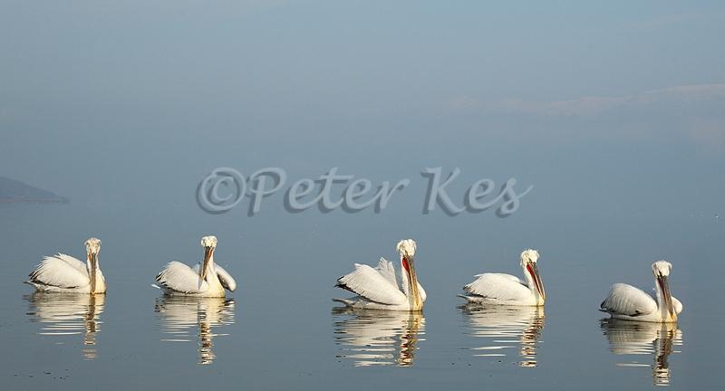 dalmatian-pelican-group-in-sun_lakekerkini_20110304_a23d3626
