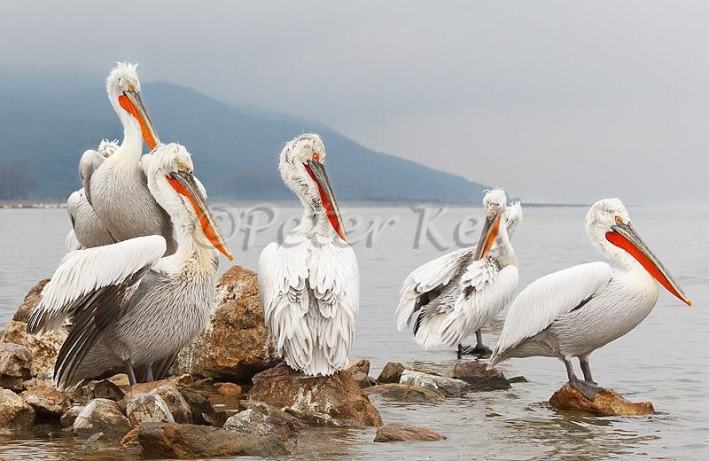 dalmatian-pelican-island_lakekerkini_20110303_a23d2514