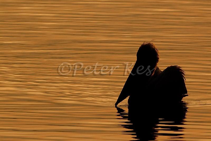 dalmatian-pelican-morning-silhouette_lakekerkini_20110304_a23d3403
