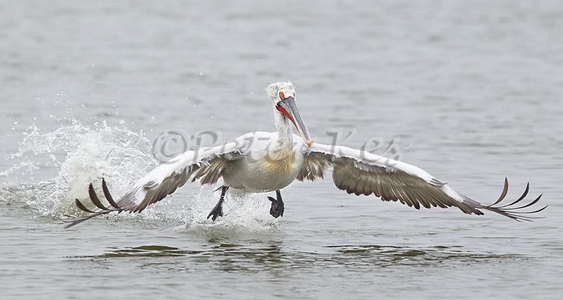 dalmatian-pelican-take-off_lakekerkini_20110305_a23d4328