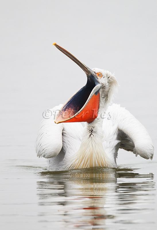 dalmatian-pelican-yawn_lakekerkini_20110228_a23d0104
