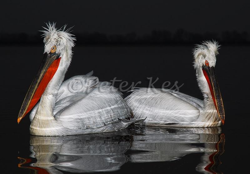 dalmatian-pelicans-juxtaposition-flash_lakekerkini_20110228_a23d9883