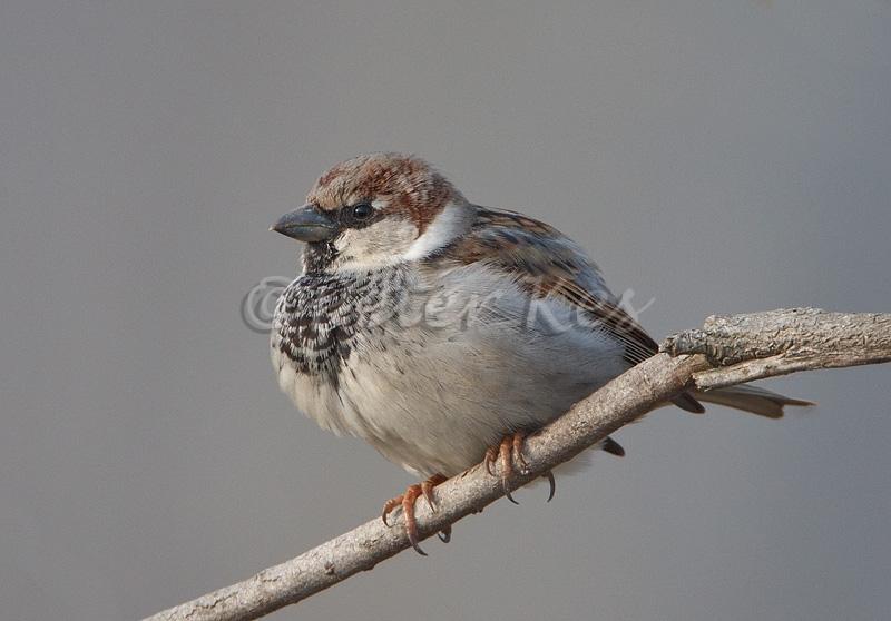 house-sparrow_lakekerkini_20110226_a23d7784