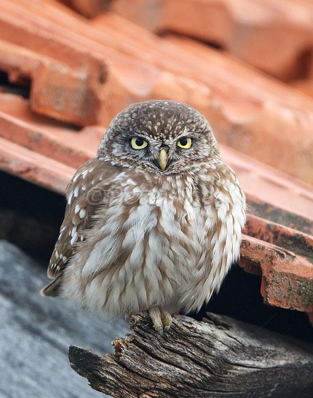 little-owl_lakekerkini_20110226_a23d7763