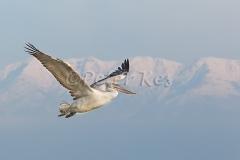 dalmatian-peilican-juv-mountain-range_lakekerkini_20110304_a23d3473