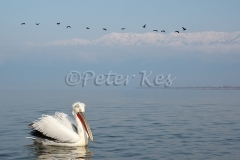 dalmatian-pelican-cormorants-mountains_lakekerkini_20110304_a23d3735