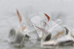 dalmatian-pelican-fish-fight-blur_lakekerkini_20110228_a23d9650