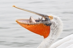 dalmatian-pelican-fish-in-mouth_lakekerkini_20110305_a23d4818