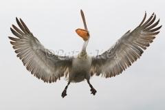 dalmatian-pelican-fishcatch-1_lakekerkini_20110303_a23d2681