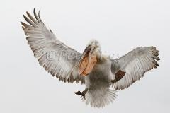 dalmatian-pelican-fishcatch-3_lakekerkini_20110303_a23d2683