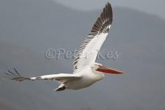 dalmatian-pelican-flight_lakekerkini_20110301_a23d0580