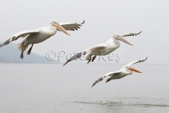 dalmatian-pelican-group-flight_lakekerkini_20110228_a23d0244