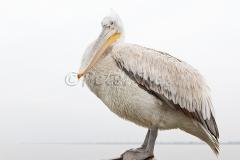 dalmatian-pelican-juv_lakekerkini_20110227_a23d8601