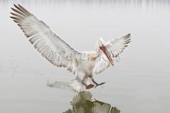 dalmatian-pelican-landing_lakekerkini_20110228_a23d0591