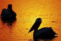 dalmatian-pelican-morning-silhouette_lakekerkini_20110304_a23d3297
