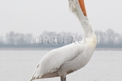 dalmatian-pelican-stretch_lakekerkini_20110228_a23d0372