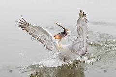 dalmatian-pelican-waterlanding_lakekerkini_20110228_a23d0614