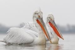 dalmatian-pelicans-duo_juxtaposition_lakekerkini_20110228_a23d0681