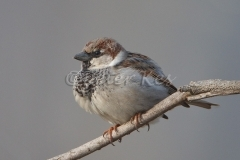 house-sparrow_lakekerkini_20110226_a23d7784