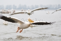white-pelican-flight_lakekerkini_20110227_a23d8824